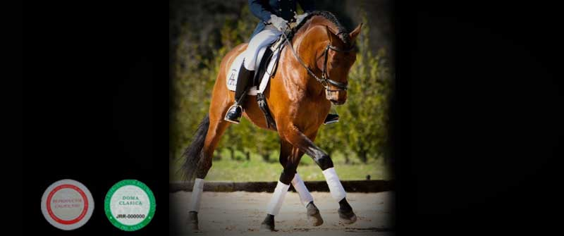 yeguada los amadores caballos para deporte purebreed spanish horses to sports 07