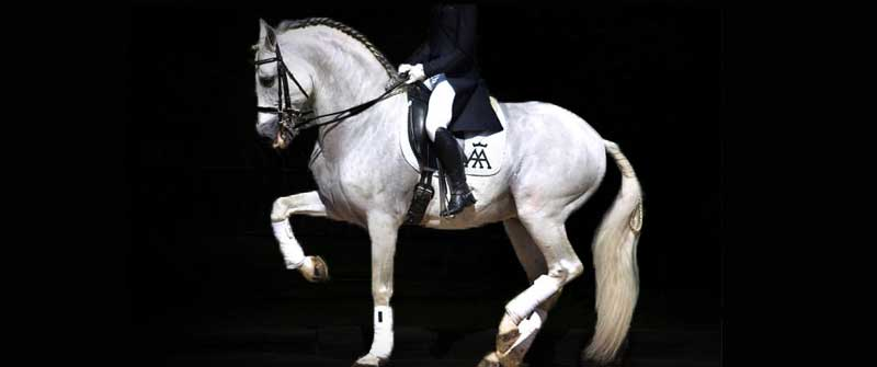 yeguada los amadores caballos para deporte purebreed spanish horses to sports 11