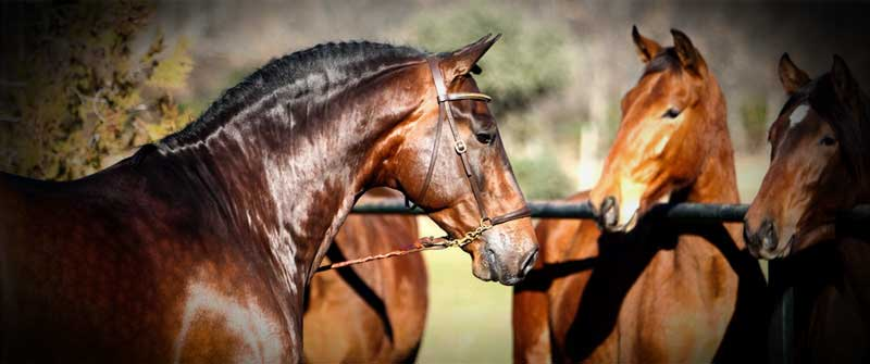 yeguada los amadores caballos para deporte purebreed spanish horses to sports 12