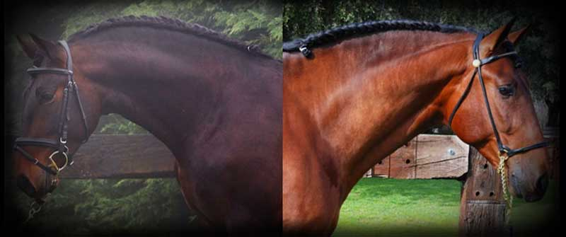 yeguada los amadores caballos para deporte purebreed spanish horses to sports 13